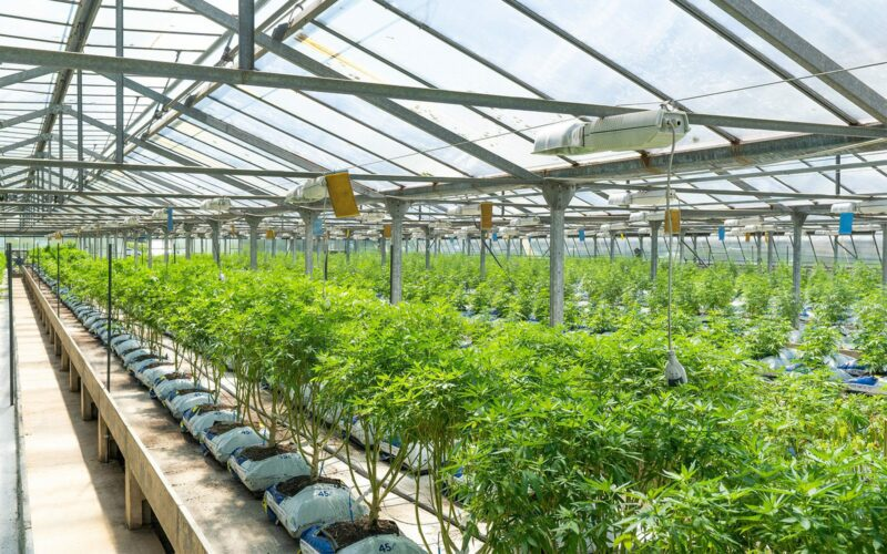 Cannabis growing in a greenhouse